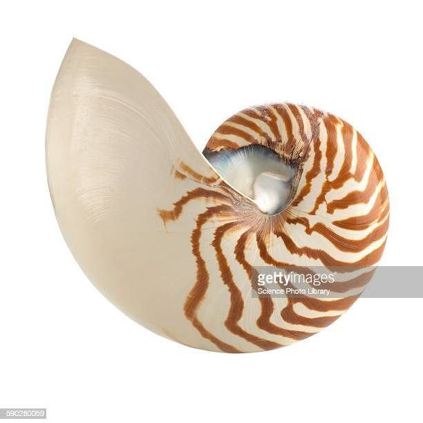 Chambered nautilus shell