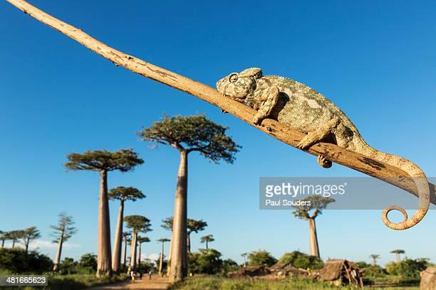 Chameleon, Avenue of Baobabs, Madagascar