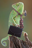 A veiled chameleon businessman is calling an associate on his cell phone. He is holding a briefcase in one hand and a cell phone in the other. He has a tie on and looks to be on his way to work.