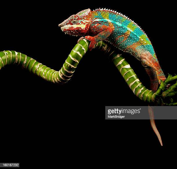 Chameleon climbing on a branch