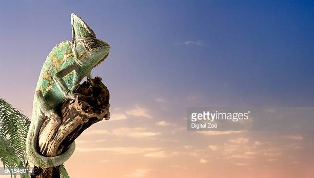 Chameleon Gripping Tree Trunk