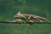 veiled chameleon, chamaeleo calyptratus is walking through the two frogs