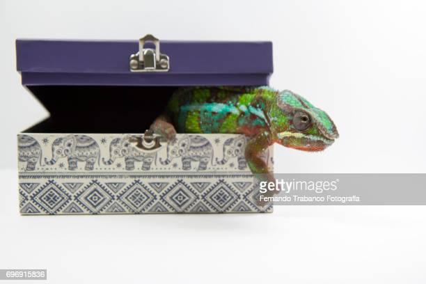 Chameleon leaves a gift box