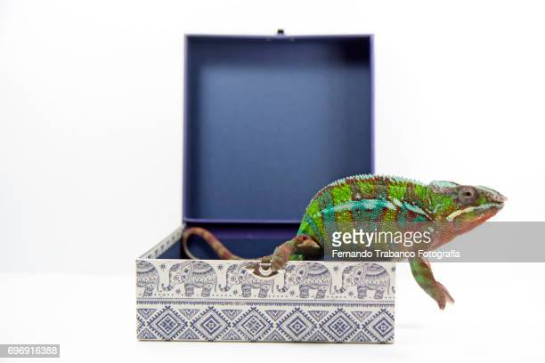 Chameleon leaves a gift box