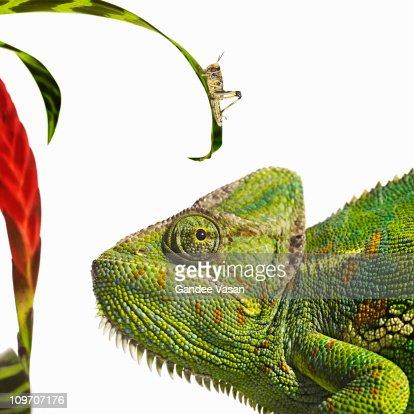 Chameleon looking at locust : Stock Photo