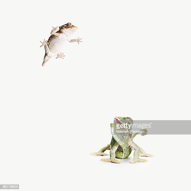chameleon looking up at lizard leaping in the air