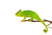 Chameleon on a branch over white background