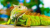 Chameleon in wilderness of Bali Island, Indonesia.
