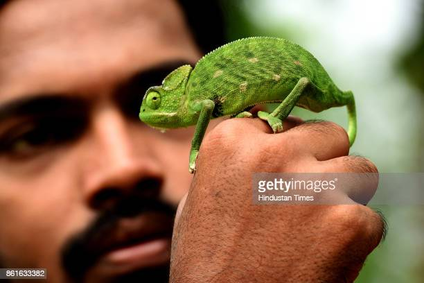 Chameleon rescued from Pawne MIDC by Akshay Dange at Koperkhairne on October 14 2017 in Navi Mumbai India