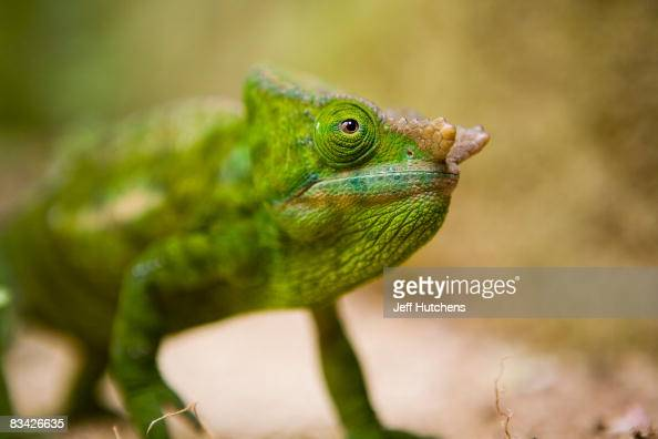 A chameleon sits waiting for prey on July 19 2007 in Antananarivo Madagascar
