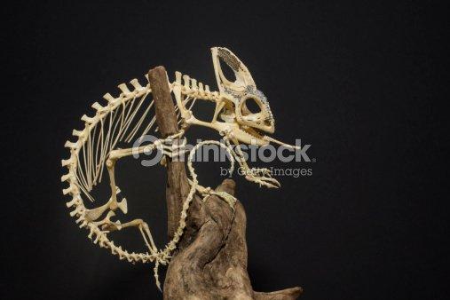 Veiled chameleon skeleton - photo#51