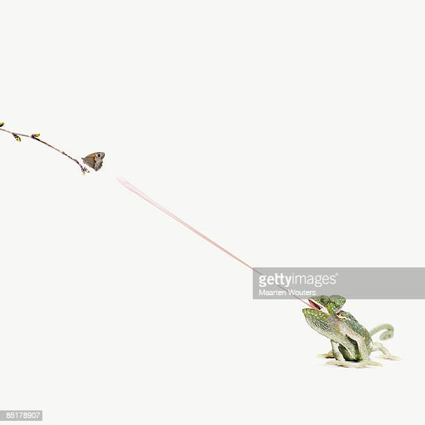 chameleon sticking out tongue to catch butterfly