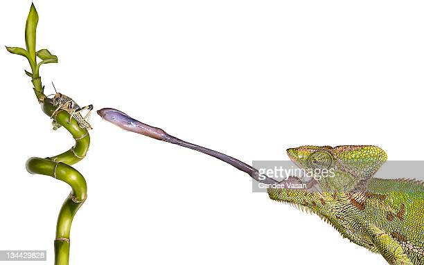 chameleon sticking out tongue to catch locust