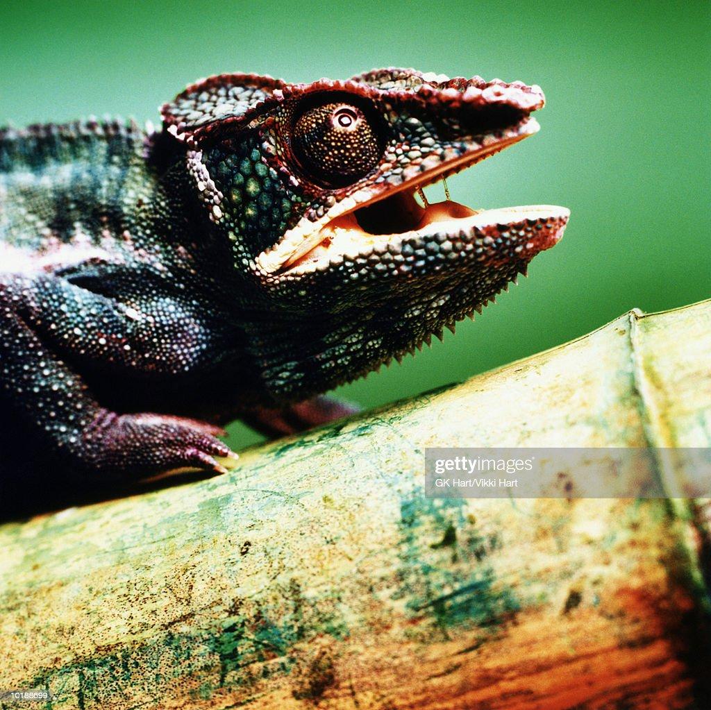 Chameleon (Chamaeleo chamaeleon) with mouth open on bamboo, close up : Stock Photo