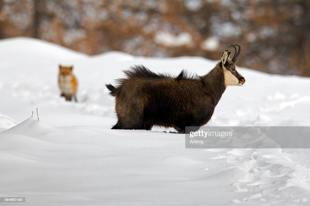 Chamois and fox in the snow in winter Gran Paradiso National Park Italian Alps Italy