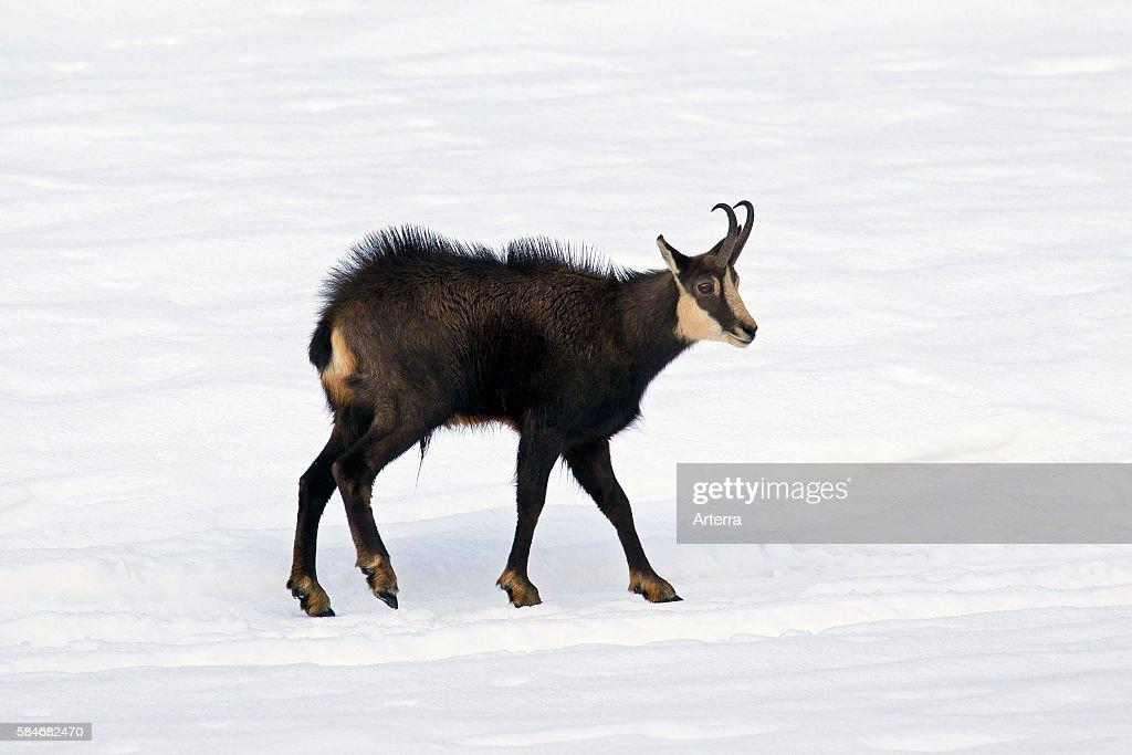 Chamois buck in the snow in winter Gran Paradiso National Park Italian Alps Italy