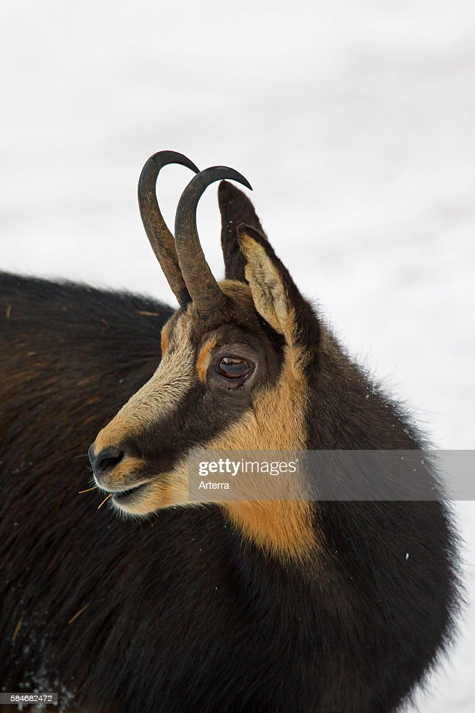 Chamois close up of buck in the snow in winter Gran Paradiso National Park Italian Alps Italy