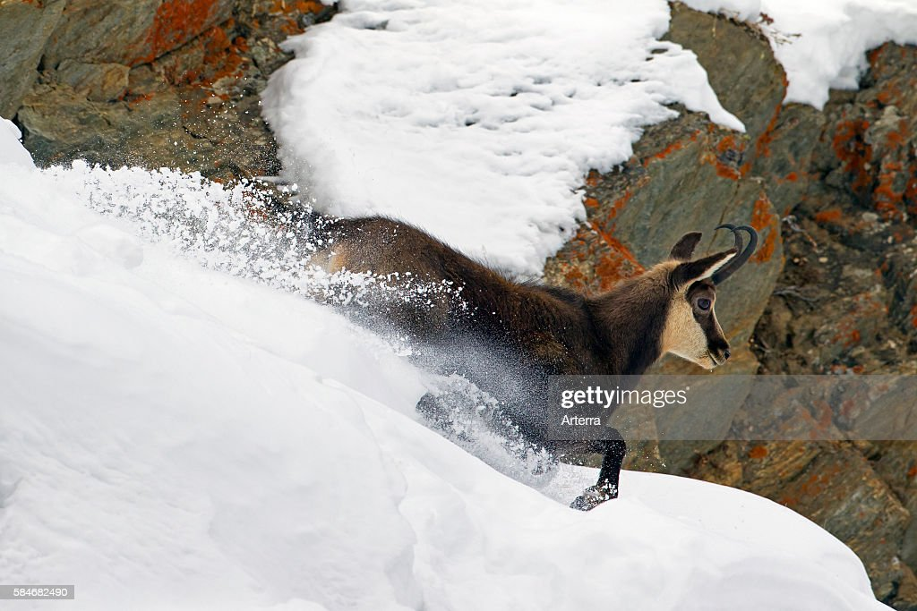 Chamois coming down in the snow in winter Gran Paradiso National Park Italian Alps Italy