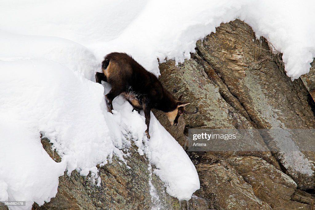 Chamois coming down sheer rock face in the snow in winter Gran Paradiso National Park Italian Alps Italy
