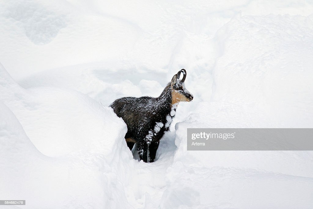 Chamois foraging in deep powder snow in winter Gran Paradiso National Park Italian Alps Italy