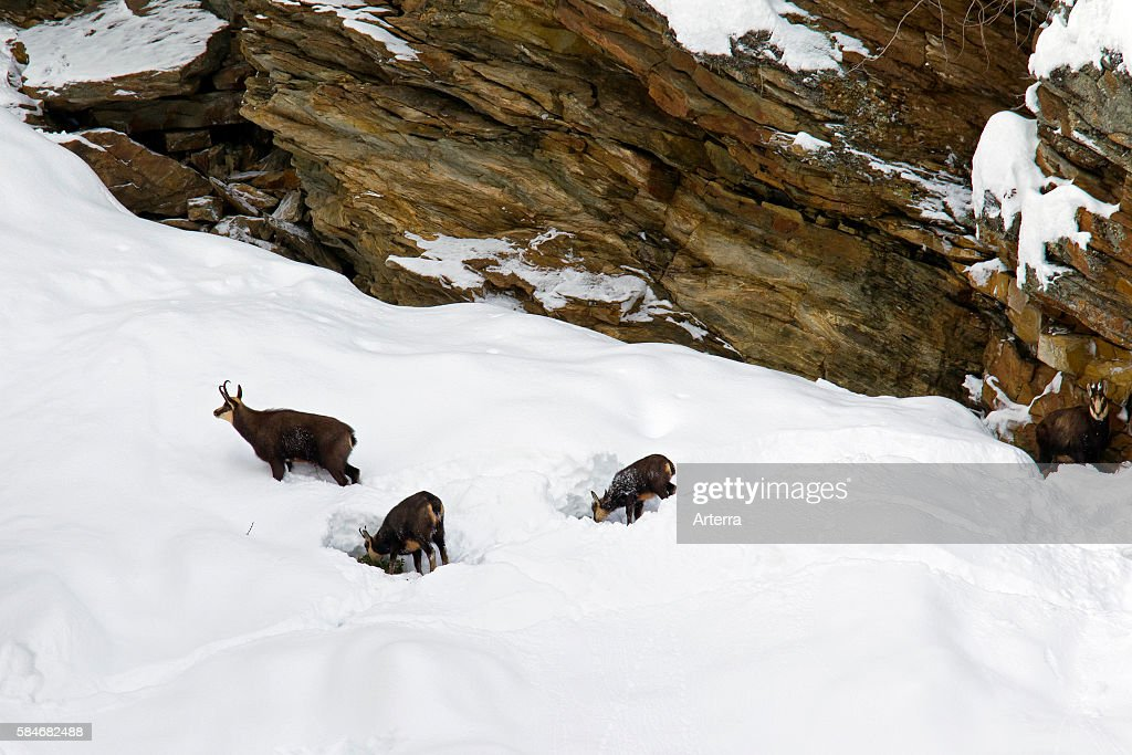 Chamois herd foraging in snow slope in winter Gran Paradiso National Park Italian Alps Italy