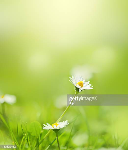 Chamomile flower in the field
