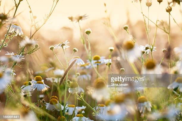 chamomile herb in wheat field
