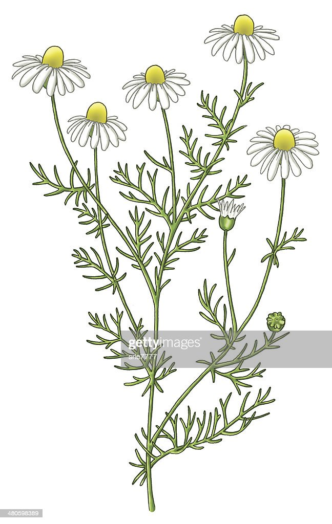 Chamomile : Stock Photo