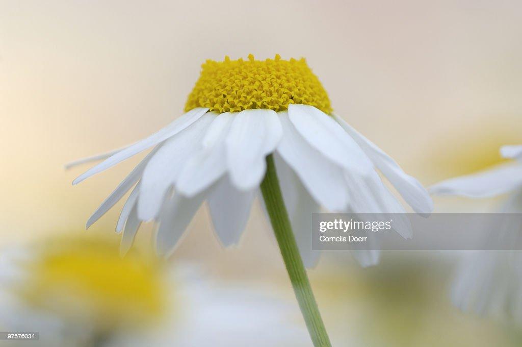 Chamomile (Chamaemelum nobile) portrait of flowers