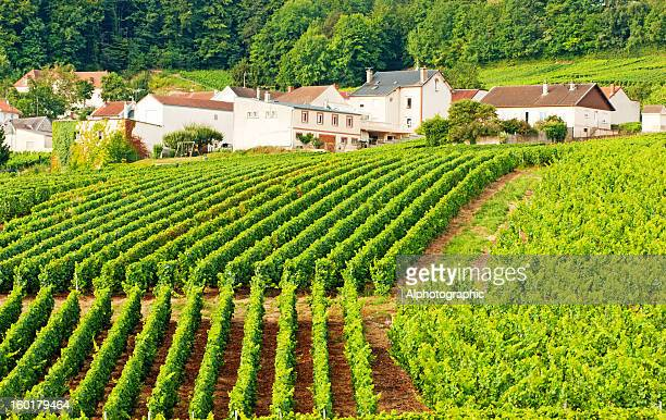 Champagne vineyards in Cramant