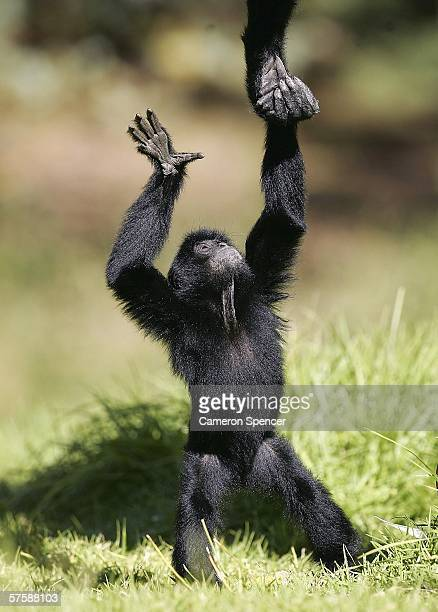 'Chanee' a ten month old Siamang Ape is helped by his mother at Western Plains Zoo May 12 2006 in Dubbo Australia The birth of 'Chanee' is a...