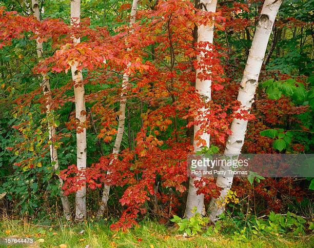Changing Autumn Birch Forest And Red Maples