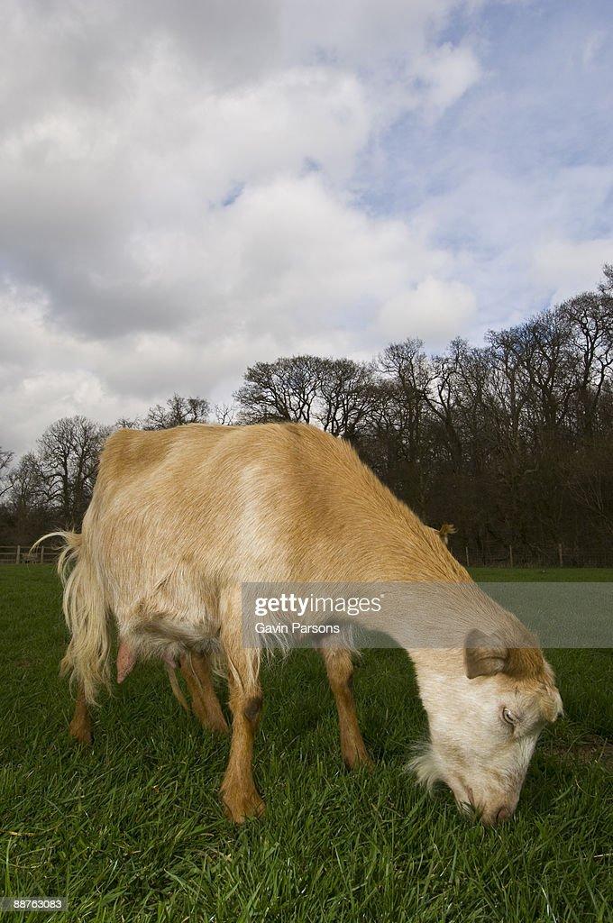 Channel Island goat (Capra aegagrus hircus) descended from WWII survivors, Church farm, Suffolk, UK