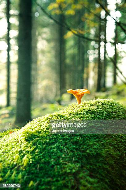 Chanterelle in forest
