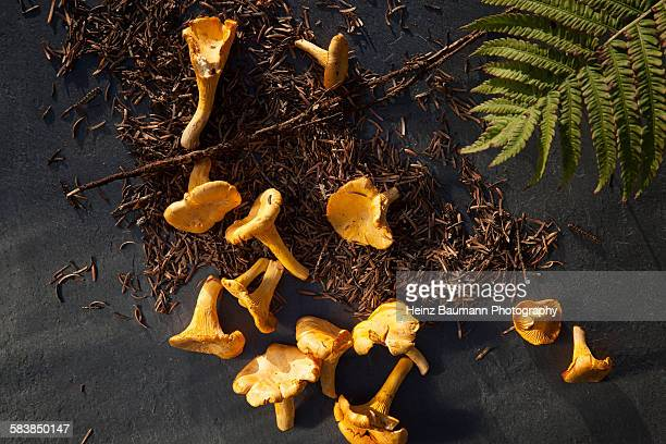 Chanterelle Mushrooms (Cantharellus cibarius)