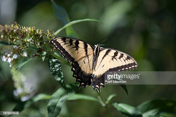 Image of a Tiger Swallowtail Butterfly.