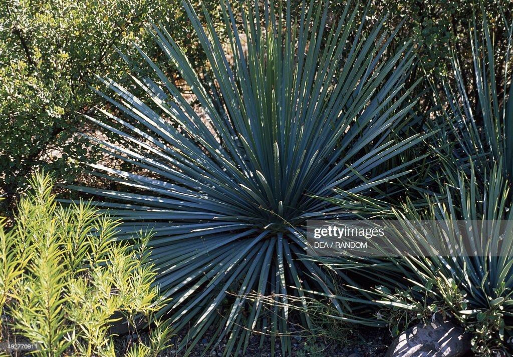 Chaparral Yucca Asparagaceae