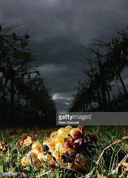 Chardonnay grapes lie rotting on the ground at a grower's vineyard on the Mornington Peninsula May 6 2005 in Melbourne Australia Wine grape...
