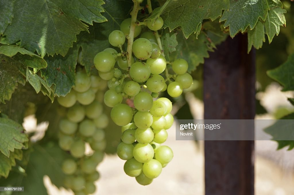 Chardonnay grapes. : Stock Photo