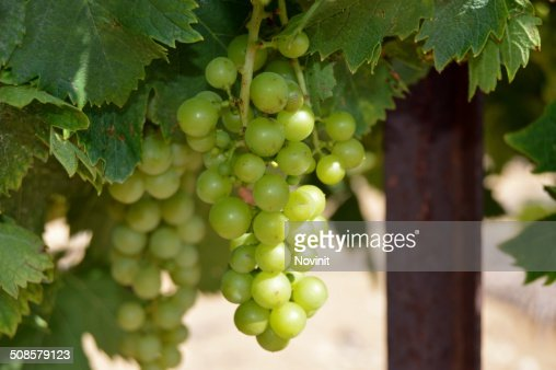 Chardonnay grapes. : Stockfoto