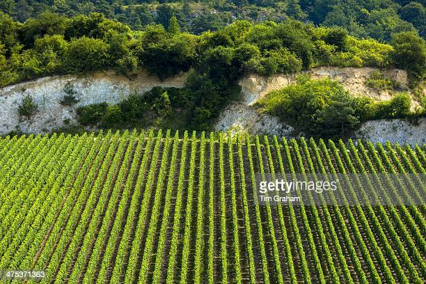 Chardonnay grapevines in limestone soil on the Champagne Tourist Route at Monthelon the Marne Valley ChampagneArdenne France