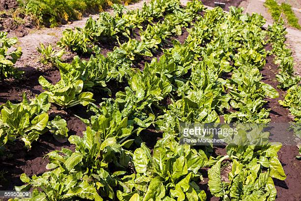 Chards in lines, at organic vegetable garden