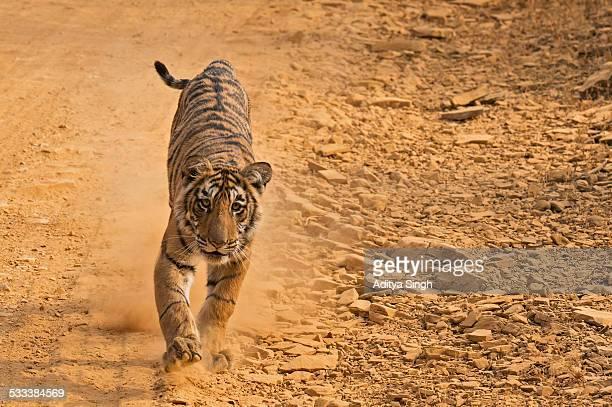 Charging tiger cub