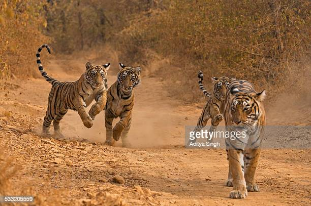 Charging wild tiger cubs