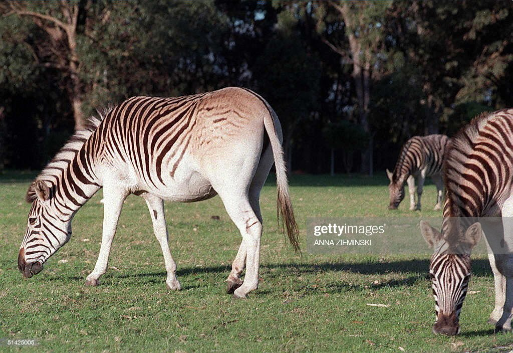 Charlene a plains zebra and Storm graze happily at Faure about 40 kilometres outside of Cape Town 01 September The two zebras are part of the 'quagga...