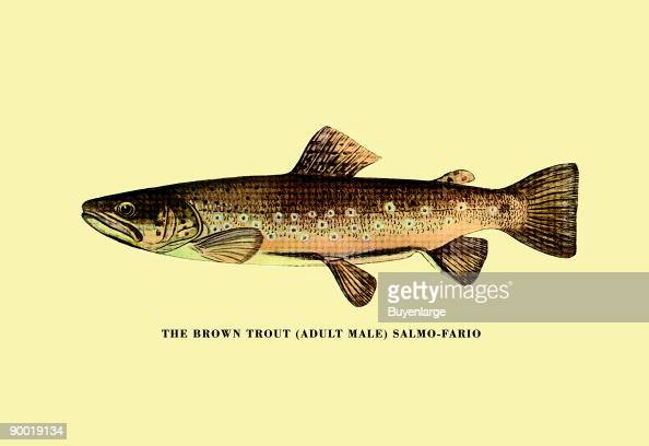 Fish illustration stock photos and pictures getty images for Trout fishing in america