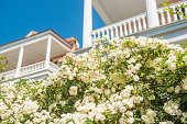 This is a color photograph of spring flowers blooming on a bush with white Colonial style porches in the background in the historic Charleston, South Carolina, a travel destination in the Southern USA