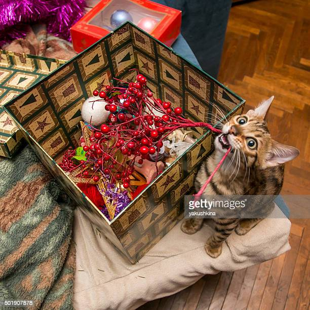 Charming bengal christmas cat with box of christmas decoration toys