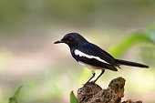 Oriental Magpie Robin  male bird perching on log with natural blurred background,front view.