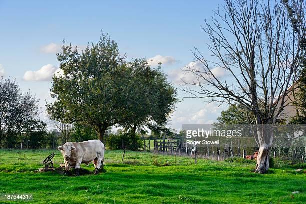 Charolais bull in a field